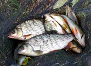 Roach, Perch and Trout